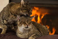 Cats In Front Of Fireplace. Cats resting,Cat In Front Of Fireplace royalty free stock photo