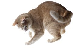 Cats' game. Playing domestic cat Royalty Free Stock Image