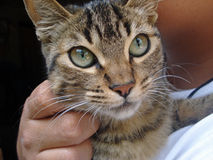 A cats glance. A cat deep glance shows its amaizing green eyes while being petted stock photos