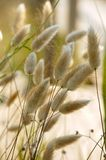 Cats grass  Mediterranean  plant Royalty Free Stock Image