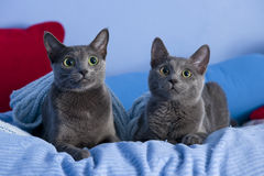 Cats with green eyes Royalty Free Stock Photo