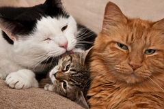 Cats Grooming Stock Photos
