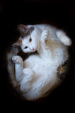 Cats gymnastics. White and black cat stretching Royalty Free Stock Image