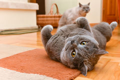 Cats having fun. British shorthair cats having fun indoor Royalty Free Stock Image