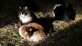 Cats in the hay stock video footage