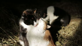 Cats in the hay. Cats lick each other in the hayloft stock footage