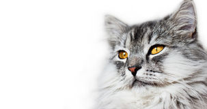 Cats head. With yellow eyes isolated on the white backgound Stock Image