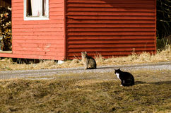 Cats hunting each other Royalty Free Stock Photo