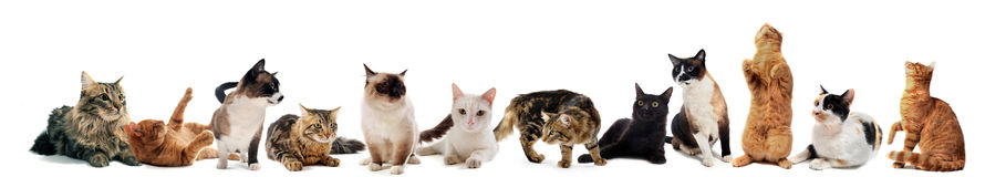 Cats In Studio Stock Photography