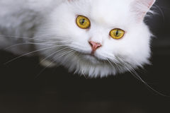 Cats are independent and detached. Royalty Free Stock Image