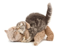 Cats kissing. Each other's arms on a white background Stock Images