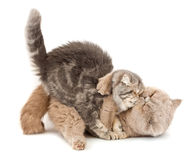 Cats kissing. Cats kissing  each other's arms on a white background Stock Image