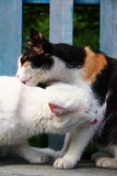 Cats kissing Royalty Free Stock Images