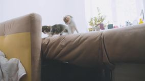 The cats lifestyle is trying to get off the couch slow motion video. kittens playing concept two kitten and a cat. The cats lifestyle is trying to get off couch stock video footage