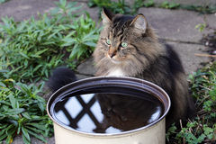 Cats like to drink rainwater Royalty Free Stock Photography