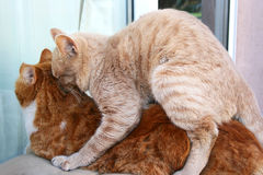 Cats in love. Tawny and red cats in love Royalty Free Stock Photos