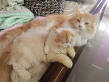 Cats in Love. Maine Coon Cat Breed Sleeping cuddle cute Stock Image