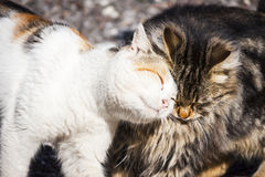 Cats love. Stray cats meeting friendly with loving each the other Stock Photography