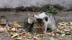 Cats love. Two wild homeless cat on the street. Two cats, one white with gray and the other black with brown, sitting on yellow autumn leaves fallen on the stock video