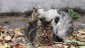 Cats love. Two wild homeless cat on the street. Two cats, one white with gray and the other black with brown, sitting on yellow autumn leaves fallen on the stock video footage
