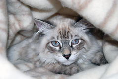 Cats, lovely fluffy pets. kitty Royalty Free Stock Image
