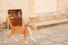 Cats in the old town of Budva, Kotor, Dubrovnik. Croatia and Mon Stock Image