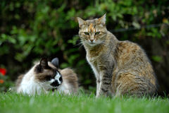Cats outdoor Royalty Free Stock Image