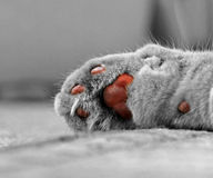 Cats paw. Photo of a pedigree cats paw belonging to a very sleepy pussycat Royalty Free Stock Image