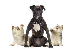 Cats pawing at a Boxer Stock Photography
