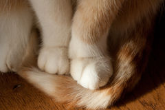 Cats paws. A detail of a ginger cats paws Royalty Free Stock Images