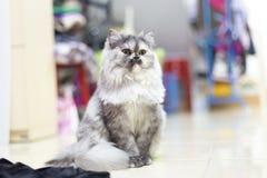 Cats, Persian cats Stock Photography