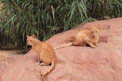 Cats.petra rojo, Jordania Imagen de archivo libre de regalías