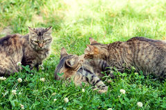 Cats are played on the grass. Three kittens are played on the grass Stock Photo