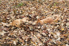 Cats Playing in Fallen Leaves Royalty Free Stock Photo