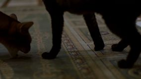 Cats playing on a home carpet and eat a treat stock footage