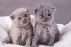 The cats poses for photos Royalty Free Stock Photography