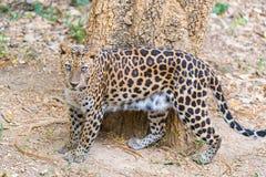 Cats predator Sri Lankan leopard Panthera pardus kotiya. Wildl. Cats predator Sri Lankan leopard Panthera pardus kotiya in safari park. Wildlife animal Stock Images
