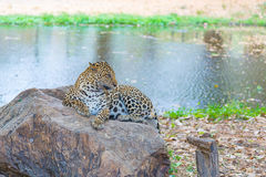 Cats predator Sri Lankan leopard Panthera pardus kotiya. Wildl. Cats predator Sri Lankan leopard Panthera pardus kotiya in safari park. Wildlife animal Stock Image