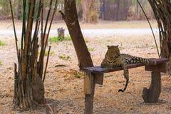 Cats predator Sri Lankan leopard Panthera pardus kotiya. Wildl. Cats predator Sri Lankan leopard Panthera pardus kotiya in safari park. Wildlife animal Stock Photo