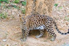 Cats predator Sri Lankan leopard Panthera pardus kotiya. Wildl. Cats predator Sri Lankan leopard Panthera pardus kotiya in safari park. Wildlife animal Royalty Free Stock Photography