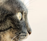 Cats profile. Close up of a cats Profile Royalty Free Stock Photography