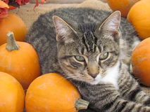 Cats and pumpkins Stock Image
