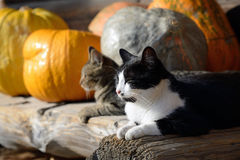 Cats and pumpkins Royalty Free Stock Image