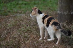 Cats Ready to hunt. A cat getting ready to attack on the prey Royalty Free Stock Photography