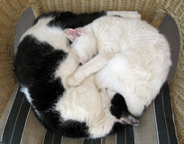 Cats relaxing  - Ying and Yang. Exhausted cats sleeping in a symmetrical position Stock Photography