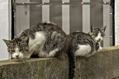 Cats resting on the wall royalty free stock photo