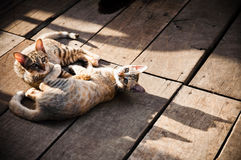 Cats Resting on Wooden Floor. Two cats resting on wooden floor at an open area Royalty Free Stock Image