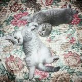 Cats scottish fold and scottish straight lie on the bed royalty free stock photo
