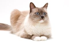 Cats series - ragdoll stock photography