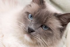 Cats series - ragdoll Stock Images